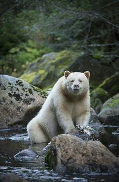 A Kermode bear (a. spirit bear ), a subspecies of the North American black bear, stands in the waters of the Great Bear Rainforest, located along British Columbia's central and northern coast. By Bill Cubitt Columbia Canada Spirit Bear, Spirit Animal, Wildlife Photography, Animal Photography, Photography Tips, Cute Baby Animals, Funny Animals, Wild Animals, American Black Bear