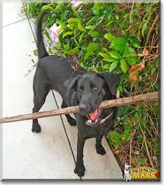 Read Mars's story the Black Labrador Retriever from San Diego, California and see his photos at Dog of the Day http://DogoftheDay.com/archive/2012/April/20.html .