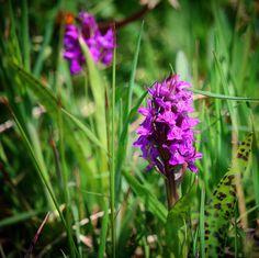 Blomstrende Majgøgeurt (Dactylorhiza majalis). Denne smukke orkidé vokser bl.a. på den vestfynske halvø Helnæs #majgøgeurt #tv2vejret #fyn #nature #visitdenmark #naturelovers #natur #denmark #danmark #dänemark #landscape #nofilter #assens #mitassens #opdagdanmark #fynerfin #assensnatur #vielskernaturen #visitassens #instapic #sea #seatroutfishing #sonnenschein #picoftheday #may #forår #flora