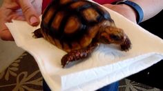 I'm calling this Redfoot Tortoise number Born December so a three year old. An Redfoot as my adult breeding pair are captive bred, not wild caugh. Red Footed Tortoise, Three Year Olds, Tortoises, Number Two, Turtle, December, Parents, Puppies, Healthy