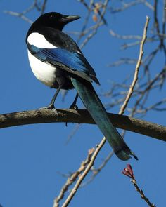 A magpie in the Real Jardín Botánico, Madrid
