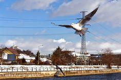 P e t r u     D I M O F F : Pescarusi la Cluj-Napoca / Seagulls in Cluj-Napoca...