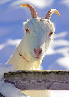 Northern LaMancha Goat - I love a goat with horns.