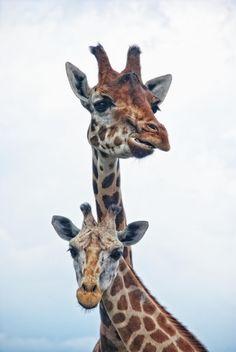 "intotheclearing: "" by Joachim G. Pinkawa "" Giraffes"