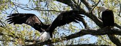 Bald Eagle Mama mad at mate for taking so long to check on babies. '  . . . And you better have a fish for them too'.