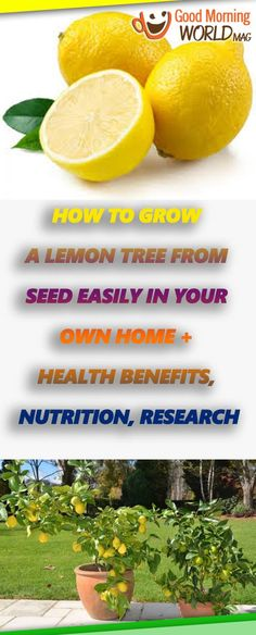 How to Grow a Lemon Tree from Seed Easily in Your Own Home + Health Benefits, Nutrition, Research