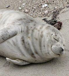 Harbor Seal Facts Seal Conservancy of San Diego Cute Creatures, Sea Creatures, Beautiful Creatures, Cute Funny Animals, Cute Baby Animals, Animals And Pets, Wild Life, Cute Seals, Harbor Seal
