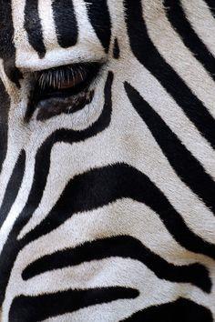 Zebra. My favorite thing in the world