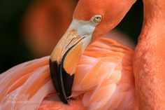 Pink Face - Pinned by Mak Khalaf Flamingos are a type of wading bird in the family Phoenicopteridae. There are four flamingo species in the Americas and two species in Afro-Eurasia. Often they are pink in colour. Animals FlamingosFloridalakepinkpink colorwater by GeorgeBloisePhotography