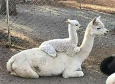 Cute Funny Animals, Cute Baby Animals, Funny Cute, Animals And Pets, Super Funny, Lama Animal, Cute Alpaca, Tier Fotos, Cute Animal Pictures