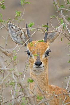 Steenbok, Kruger National Park, South Africa, by Bill Davies Animals Of The World, Animals And Pets, Baby Animals, Cute Animals, Wild Animals, Wildlife Photography, Animal Photography, Beautiful Creatures, Animals Beautiful