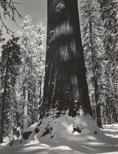ANSEL ADAMS  1902 - 1984 Mariposa Grove of Big Trees, Winter, Yosemite National Park Date:ca. 1937