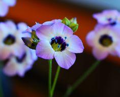 Gilia tricolor photo credit Ashley Millet