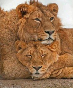 Foto: I love animal....... Grandes felinos Incluye a las cuatro especies de felino en el género Panthera: el león (Panthera leo), tigre (Panthera tigris), leopardo (Panthera pardus) y el jaguar (Panthera onca). Los miembros de este género son los únicos capaces de rugir, #tiger #Animal #leopard #SnowLeopard #wildlife #dog #wildlifephotography #wildlifephotos #feline #Wildlife