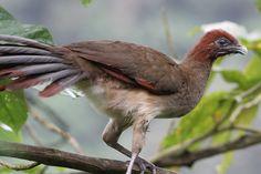 Rufous-headed Chachalaca Ortalis erythroptera - Google Search