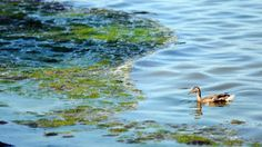 Ribble aims to launch phosphorus dialogue from Green Bay Press Gazette City Clean, South Of The Border, Lake Michigan, Global Warming, Marine Life, Green Bay, Climate Change, Bloom, Ocean