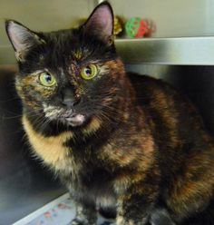 Name: Ginger Age: 3-4 years Breed: DSH How I Arrived At NHS: I came to Northwoods as a stray and am looking for my forever home! I am friendly and affectionate, and very talkative! I am looking for someone to tell my stories to, and I will even let you talk back to me. I should also tell you, I love treats!