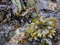 For thousands of years, seaweeds have formed an important element of the diet in the Hawaiian and other Polynesian islands. On Hawaii alone. At least 40 species were eaten raw, baked, pickled, or mixed with other foods. -Ole G Mouritsen #seaweed