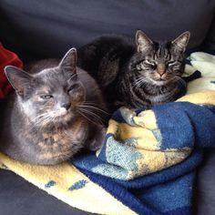 Elisa(links grau) Katze | Pawshake Frankfurt am Main