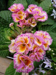 Primevère des jardins à fleurs doubles, photo Alain Delavie
