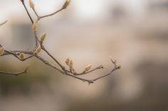 https://flic.kr/p/CQWfqv   木蓮のつぼみ   Bud of magnolia