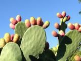 Prickly pear cactus (Opuntia ficus-indica), is an edible cactus plant that grows in the arid and semi-arid regions of the world. Cactus Images, Cactus Pictures, Ficus, Cactus Flower, Flower Pots, Cactus Planta, Pear Fruit, Edible Wild Plants, Prickly Pear Cactus