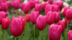 Purple Tulips Wallpaper Pictures to Pin on Pinterest PinsDaddy