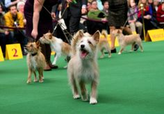 Portuguese Podengo Pequenos seen during the 138th annual Westminster Kennel Club dog show.