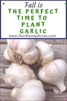 Landscaping Software - Offering Early View of Completed Project The Perfect Time For Planting Garlic In Your Backyard Garden Is Fall. Get That Garlic Planted This Fall Before The Ground Freezes For A Great Crop Of Garlic Next Summer. Autumn Garden, Spring Garden, Planting Bulbs, Planting Flowers, Flowering Plants, Planting Garlic In Fall, Organic Gardening, Gardening Tips, Fall Vegetables