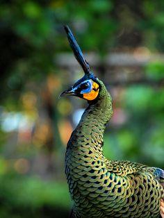 Green Peacock by Eka Novianto, via 500px - Bird Park of Jakarta.