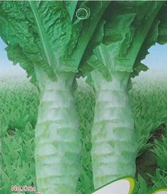 Amazon.com : Best Garden Seeds New Rare Chinese green asparagus lettuce seeds, original package, 30 seeds / pack, Chinese organic vegetables : Patio, Lawn & Garden