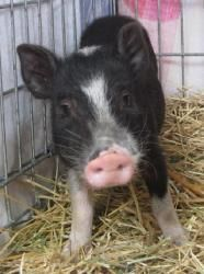 Cutie is an adoptable Pot Bellied Pot Bellied Pig in San Jose, CA. You can fill out an adoption application online on our official website. Please contact Janice ( janice.frazier@sbcglobal.net ) for m...