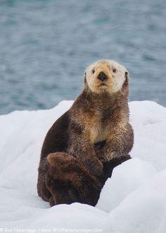 Sea Otter Photos