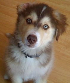 Goberians... the perfect blend of dog Husky and Golden Retriever. So pretty!