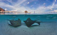 Подводный мир Мальдив. Скаты • AirPano.ru • Photo