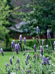 Lavandula is a genus of 39 species of flowering plants in the mint family, Lamiaceae. These ornamental plants, commonly known as Lavender, are typically found inCanary Islands, southern Europe across to northern and eastern Africa, the Mediterran