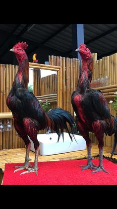 Thai rooster is smart and very good for game