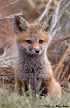 Red Fox Cub by Wild Valley Photos - Stephanie Stuckman