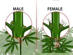 How to Identify Female and Male Marijuana Plants. If you are growing marijuana for medicinal purposes, you need to know how to identify female and male marijuana plants. Almost all growers prefer female marijuana plants because only. Weed Facts, Growing Weed, Weed Types, Cannabis Cultivation, Cannabis Plant, Medical Marijuana, Weed, Growing Vegetables, Weed Art