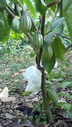 Fruit Trees, Mexico, Vegetables, Places, Vegetable Recipes