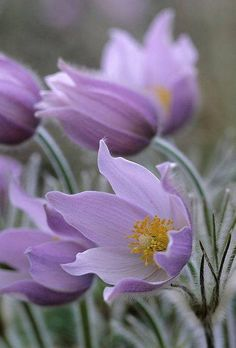 ✯ Manitoba's provinicial flower - the Prairie Crocus. Just a gorgeous shade of purple.