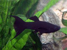 Betta Aquarium, Fish Breeding, Fish Care, Aquarium Design, Guppy, Beautiful Fish, Aquatic Plants, Freshwater Fish, Nature