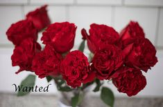Wanted-Red-Rose-by-Alexandra-Farms
