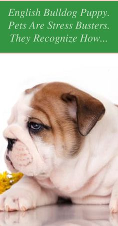 Get professional info and guidance on how to buy a bulldog and choose and what ... English bulldogs are the mascots of choice for many colleges, compa...
