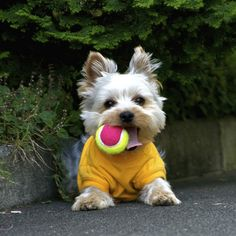 This dog only fetches neon tennis balls-- but he is so darned cute, isn't he?