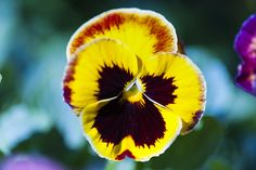 An ink-blot yellow-and-crimson pansy edged with a wash of red Spring Colors, Pansies, Ink, Yellow, Garden, Plants, Garten, Flora, Plant