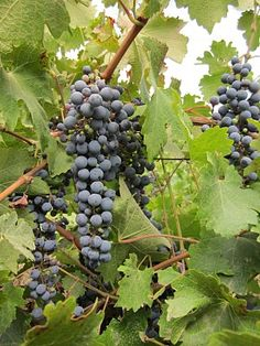 Grapes from Cajon del Maipo region in Chile