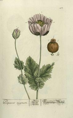 """Otra variedad de amapola o planta del opium (Papaver nigrum) """"Herbarium Blackwellanium"""" Nüremberg 1757"""