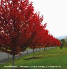 Red Sunset Maple Trees - Fast growing Maple trees good for great fall color and driveway lining. Trees And Shrubs, Flowering Trees, Trees To Plant, Garden Trees, Lawn And Garden, Red Sunset Maple, Tree Lined Driveway, Red Maple Tree, Fast Growing Trees