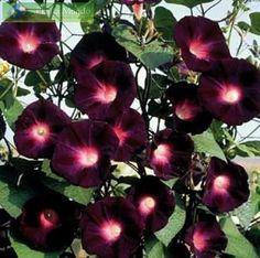 Rare Kniolas Black Morning Glory